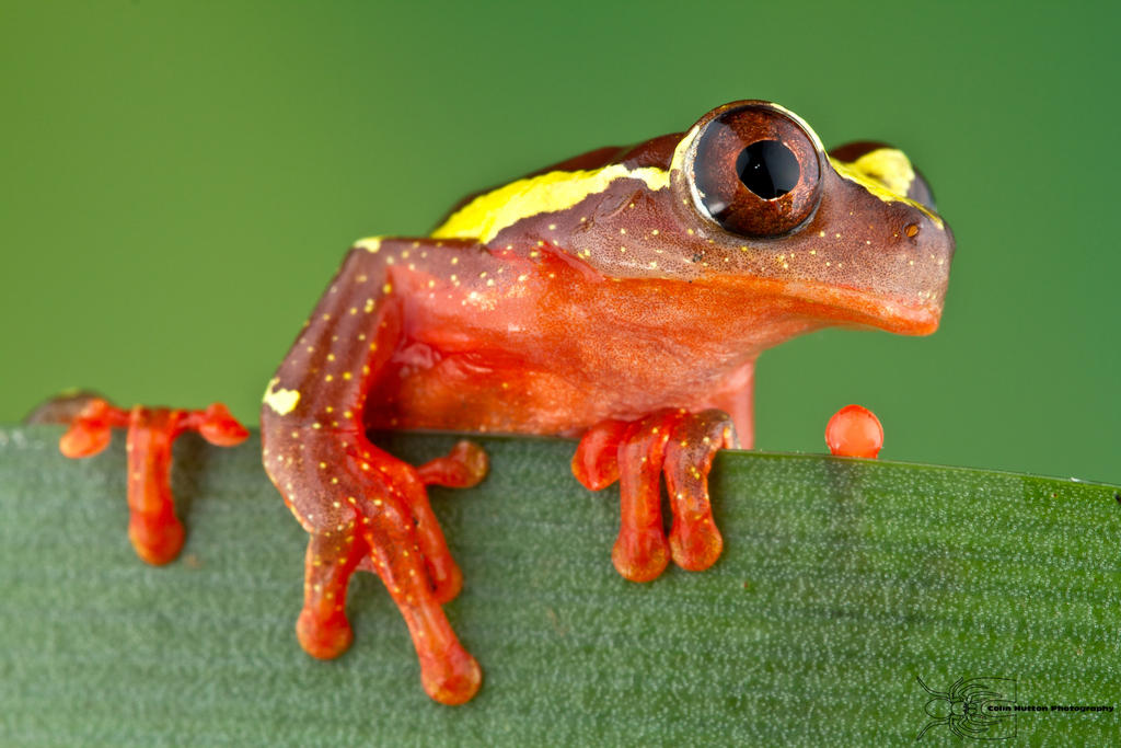 Clown Tree Frog - Dendropsophus leucophyllatus by ColinHuttonPhoto