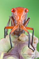 Leafhopper by ColinHuttonPhoto
