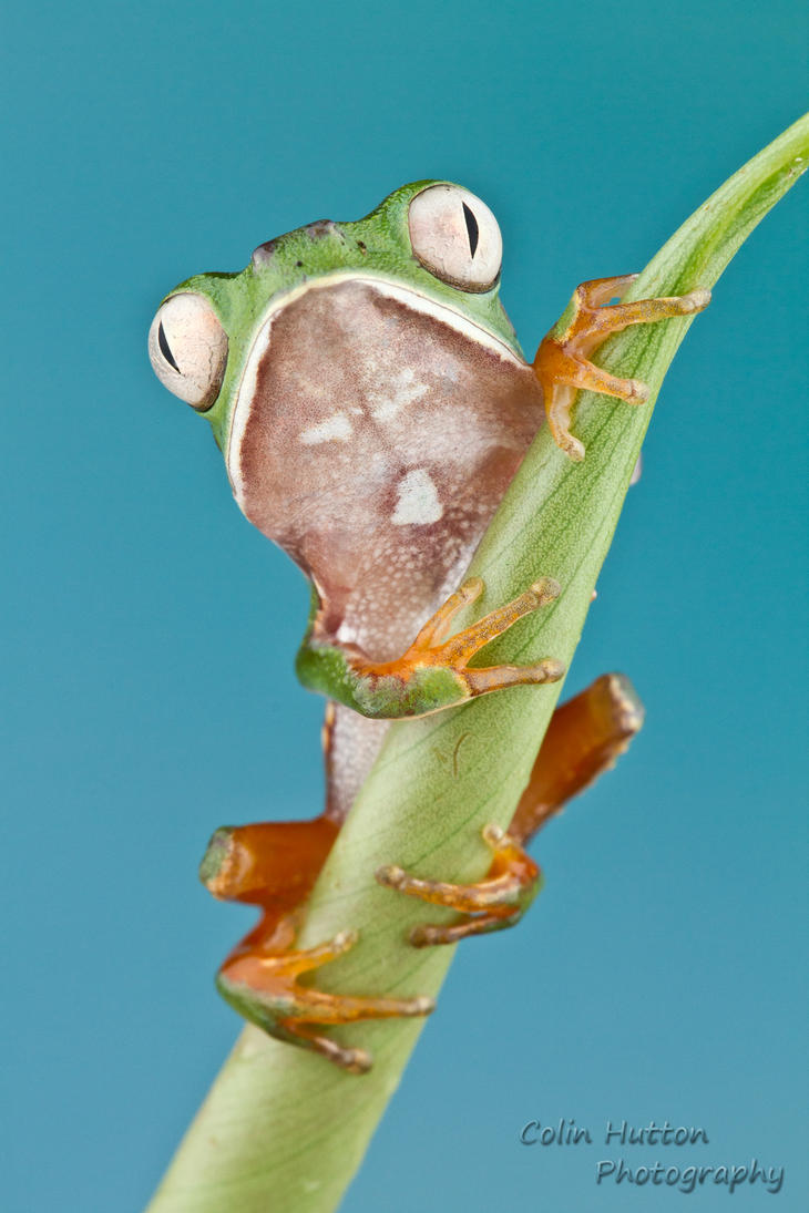 White-lined tree frog - Phyllomedusa vaillantii by ColinHuttonPhoto