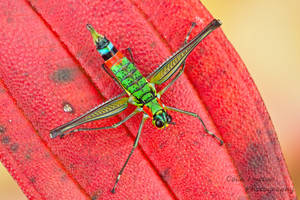 Monkey Grasshopper by ColinHuttonPhoto