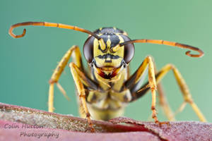 Wasp by ColinHuttonPhoto