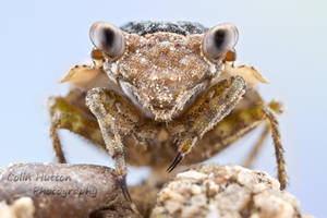 Big-eyed Toad Bug - Gelastocoris oculatus by ColinHuttonPhoto