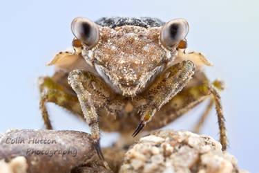 Big-eyed Toad Bug - Gelastocoris oculatus by ColinHuttonPhoto
