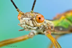 Stick insect - Damasippus sp. by ColinHuttonPhoto