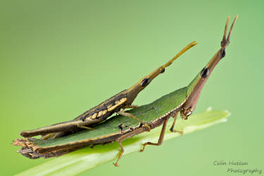 Grasshopper love by ColinHuttonPhoto
