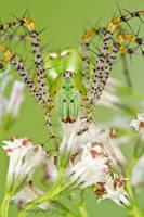 Green lynx spider - Peucetia viridans by ColinHuttonPhoto