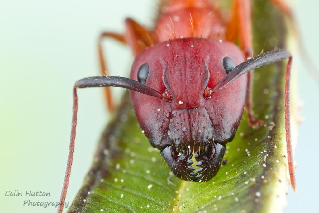 Florida Carpenter Ant - Camponotus floridanus by ColinHuttonPhoto