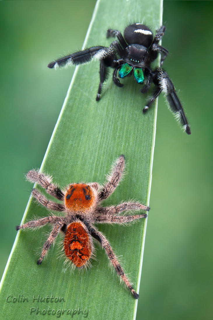 Regal Jumping Spider - Phidippus regius by ColinHuttonPhoto