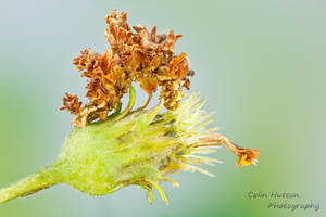 Camouflaged looper - Synchlora aerata by ColinHuttonPhoto