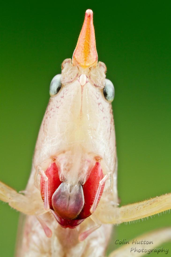 Conehead katydid by ColinHuttonPhoto
