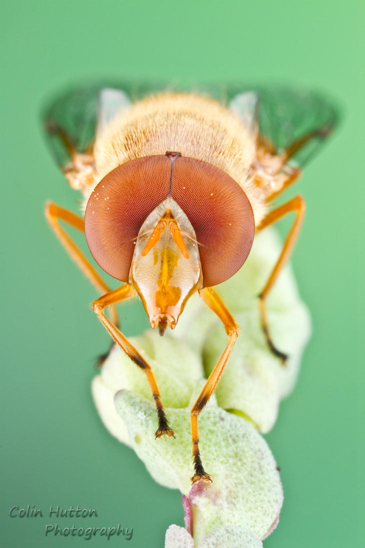Syrphid fly - Copestylum sexmaculatum by ColinHuttonPhoto