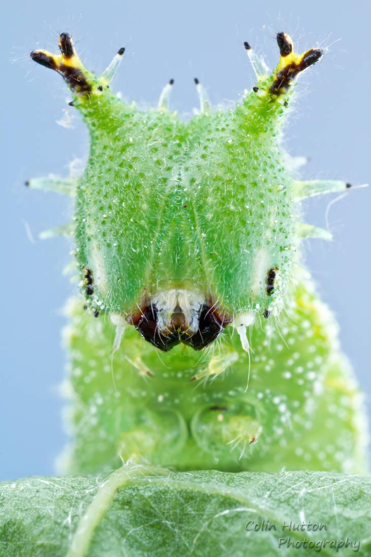 Tawny Emperor - Asterocampa clyton by ColinHuttonPhoto