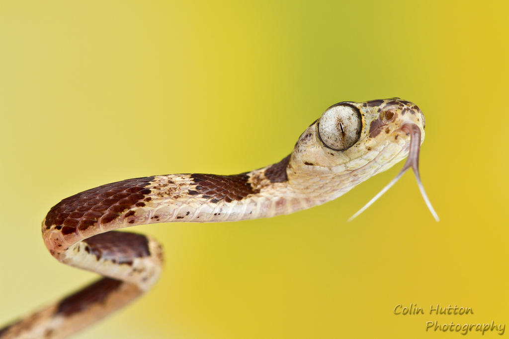 Blunthead tree snake by ColinHuttonPhoto