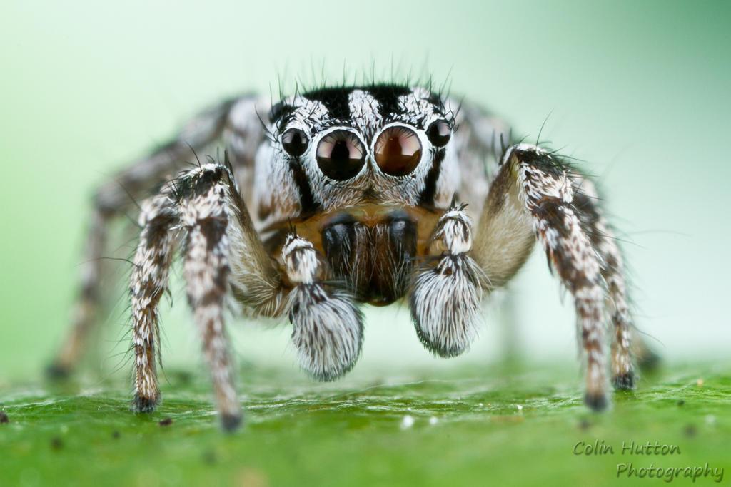 Trimaculatus by ColinHuttonPhoto