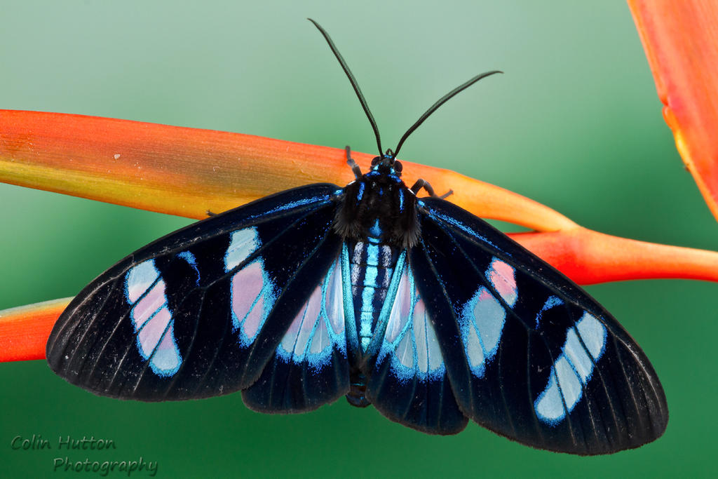Day flying moth by ColinHuttonPhoto