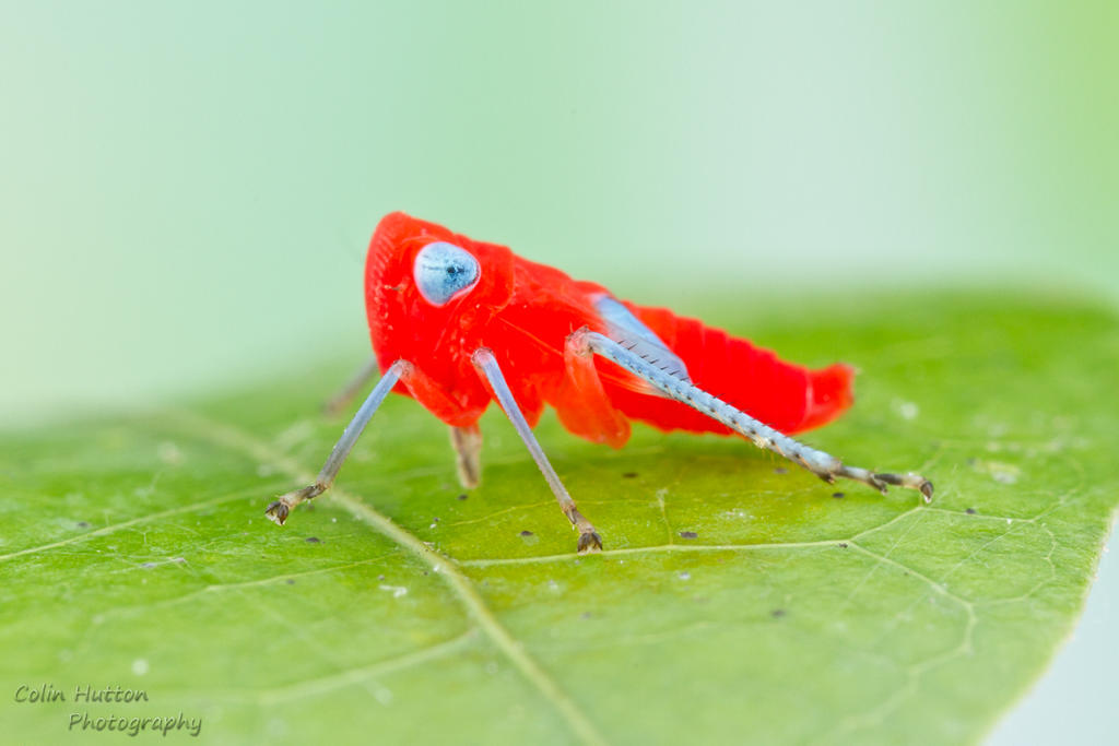 Leafhopper nymph by ColinHuttonPhoto