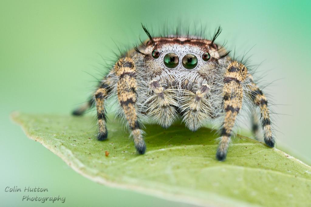 Phidippus pruinosus by ColinHuttonPhoto