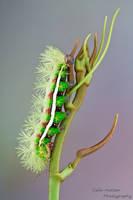 Silk moth caterpillar by ColinHuttonPhoto