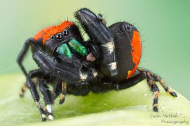 Spider sex by ColinHuttonPhoto