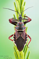 Florida bee assassin - Apiomerus floridensis by ColinHuttonPhoto