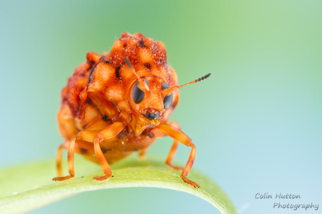 Warty leaf beetle by ColinHuttonPhoto
