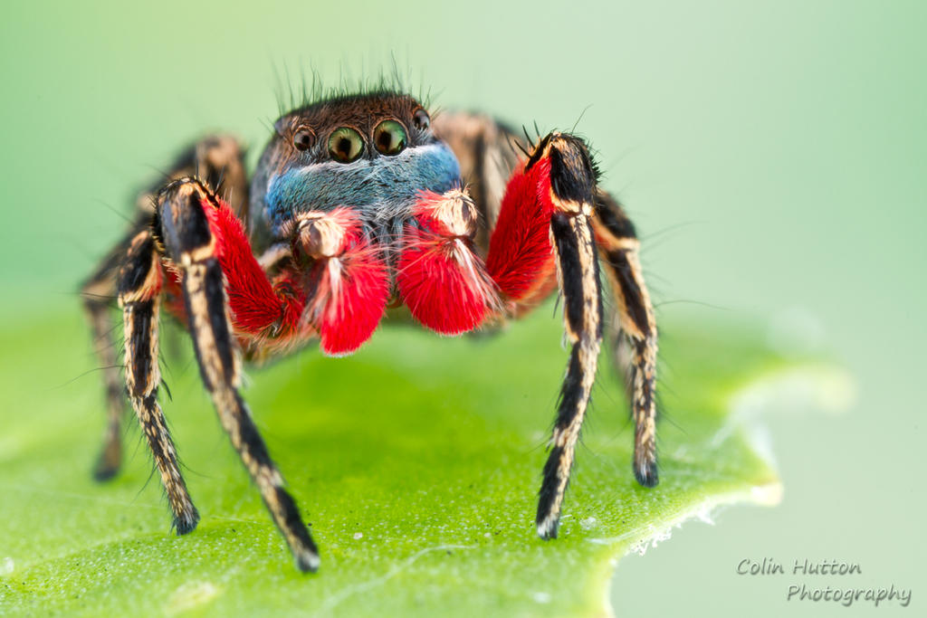 Habronattus americanus by ColinHuttonPhoto