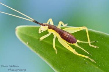 Bush cricket by ColinHuttonPhoto