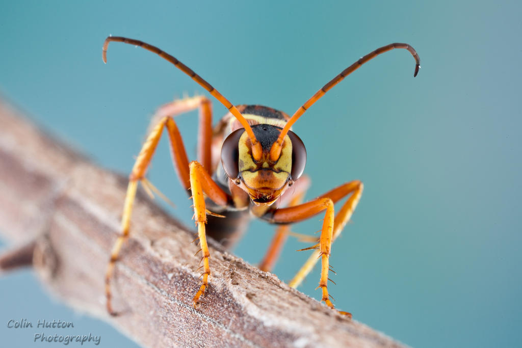 Spider wasp - Poecilopompilus interruptus by ColinHuttonPhoto