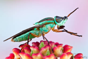 Soldier fly by ColinHuttonPhoto