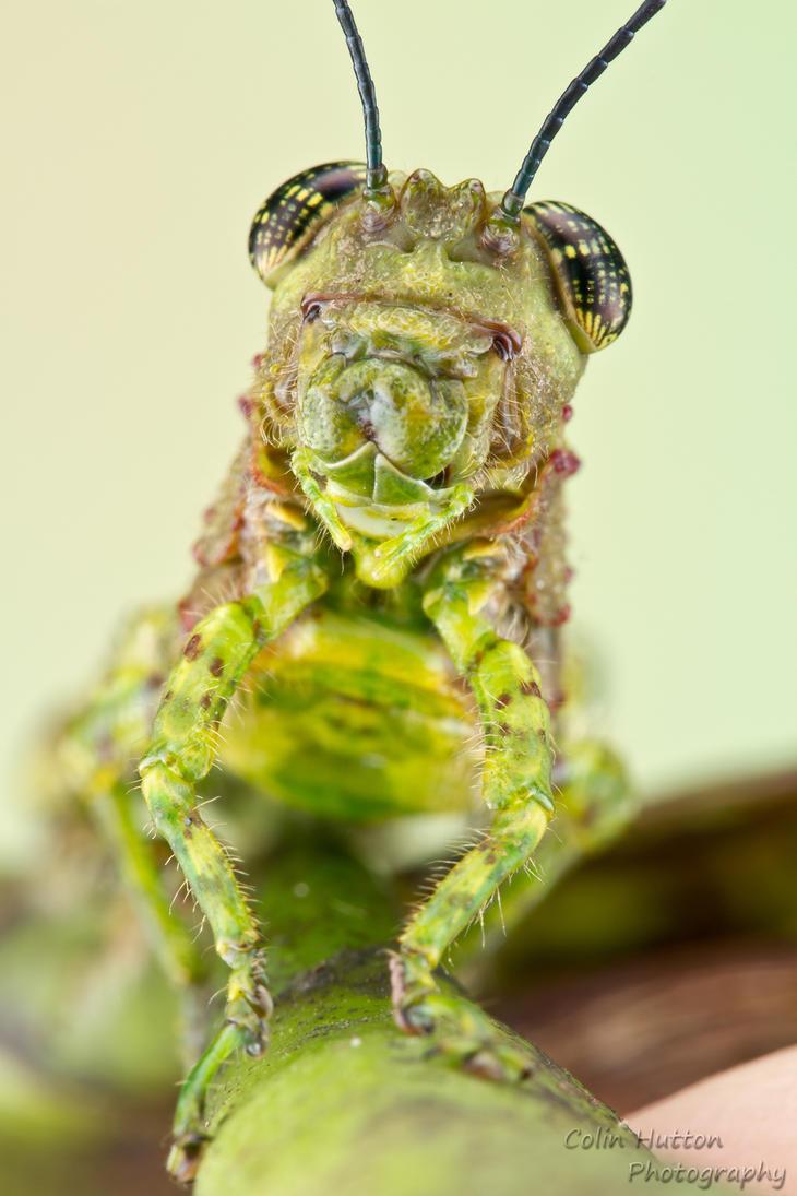 Grasshopper by ColinHuttonPhoto