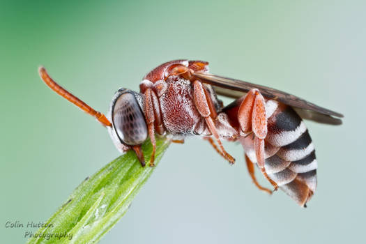 Cuckoo Bee - Triepeolus rufithorax