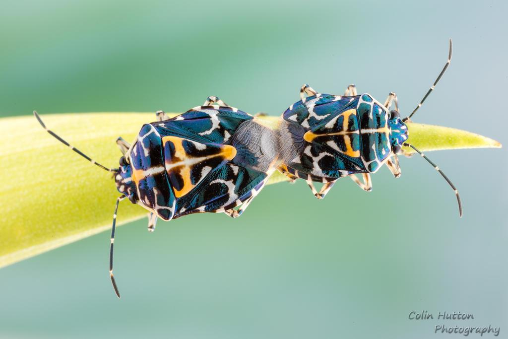 Stinkbug love by ColinHuttonPhoto