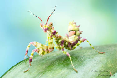 Spiny Flower Mantis - Pseudocreobotra wahlbergi by ColinHuttonPhoto