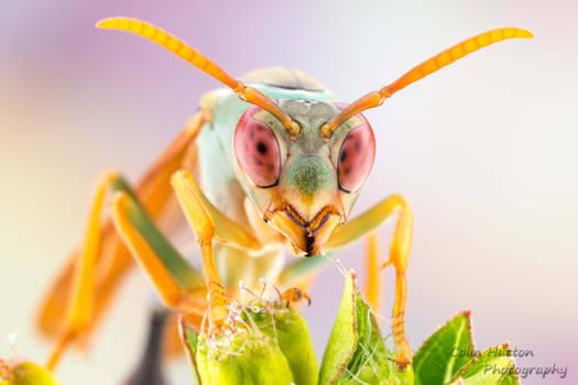 Paper wasp - Belonogaster sp.