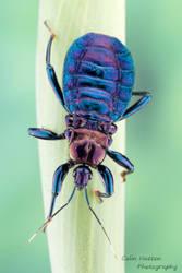 Millipede assassin bug - Ectrichodiinae by ColinHuttonPhoto