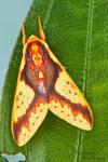 Tiger moth - Symphlebia sp.