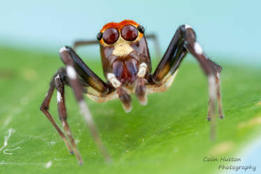 Jumping spider - Hypaeus sp.