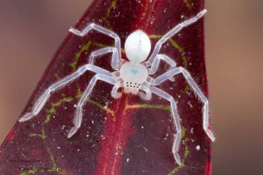 Juvenile huntsman spider