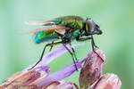 Metallic green fly from Bwindi, Uganda