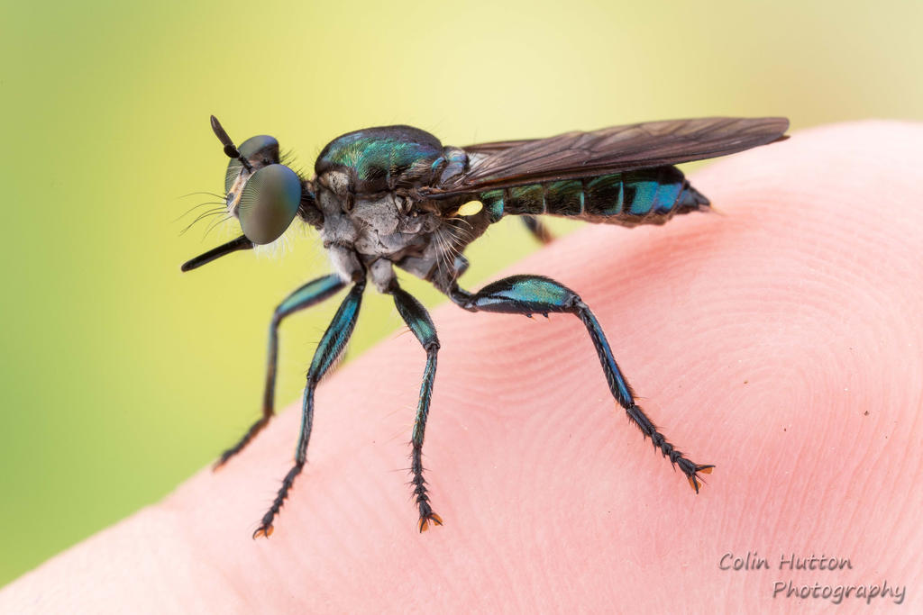 Small robber fly on my finger by ColinHuttonPhoto