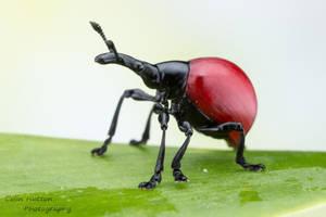Weevil - Cybebus dimidiatus