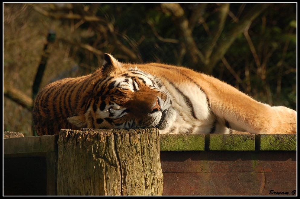 Imagenes reales del poderoso tigre.
