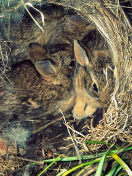 Spring  Bunnies I