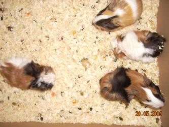 guinea pigs 0001 by NicoRobin96