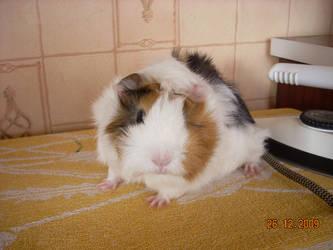 My guinea pig by NicoRobin96
