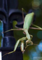 Praying Mantis II