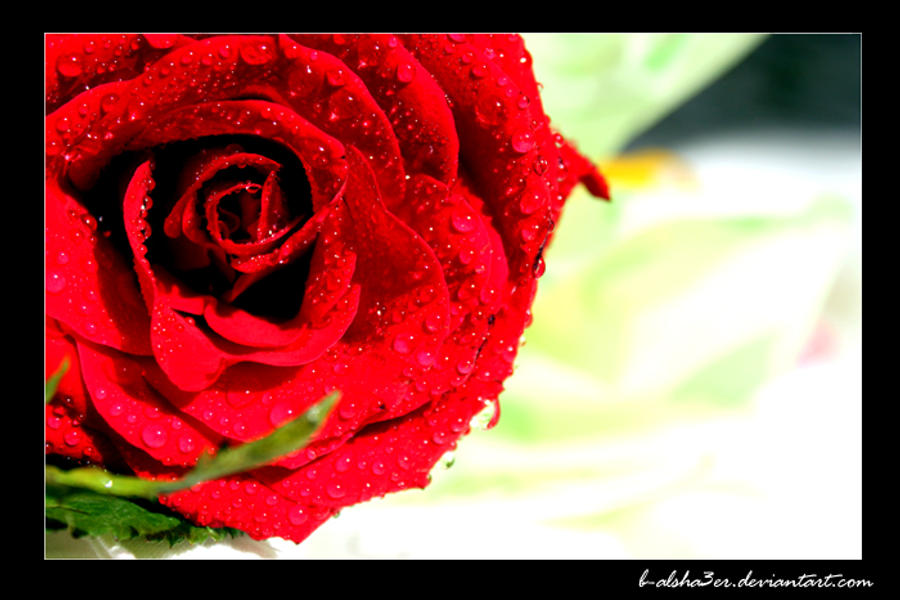 rose tears by B-Alsha3er