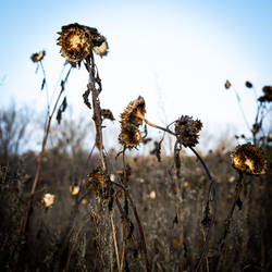 Dried sunflower I