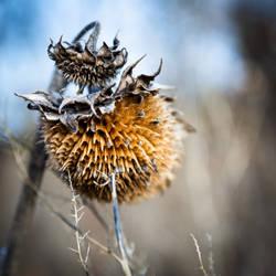 Dried sunflower II