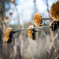 Dried sunflower III